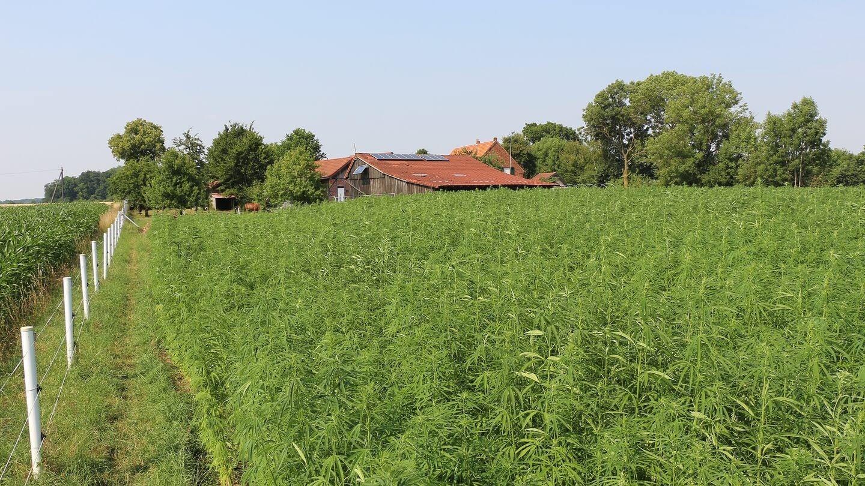 Regionale Produktion der Leichtbauplatten möglich: nachwachsender Hanf gedeiht auf heimischen Feldern