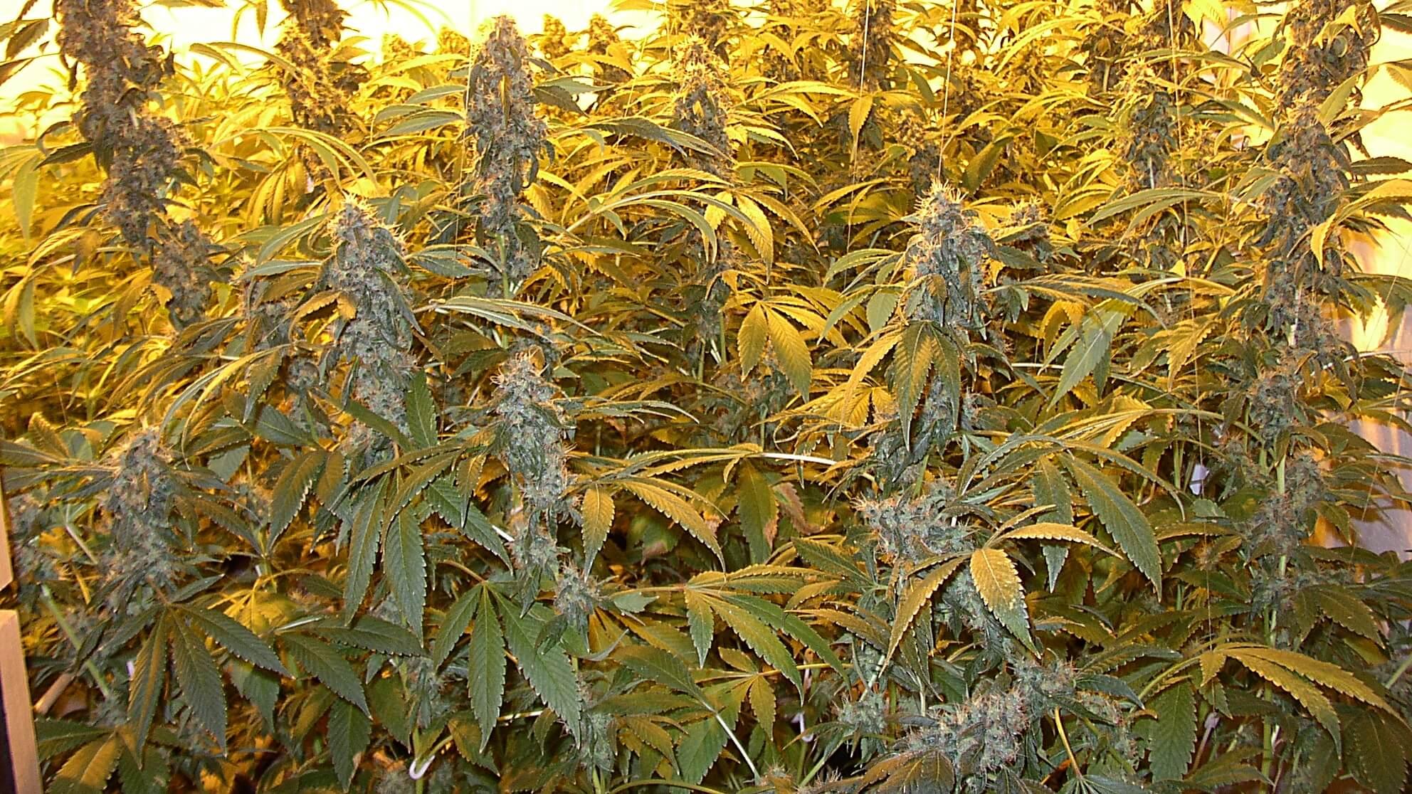 Indoor Eigenanbau – wäre Cannabis legal, wäre es ein entspannter Lockdown!