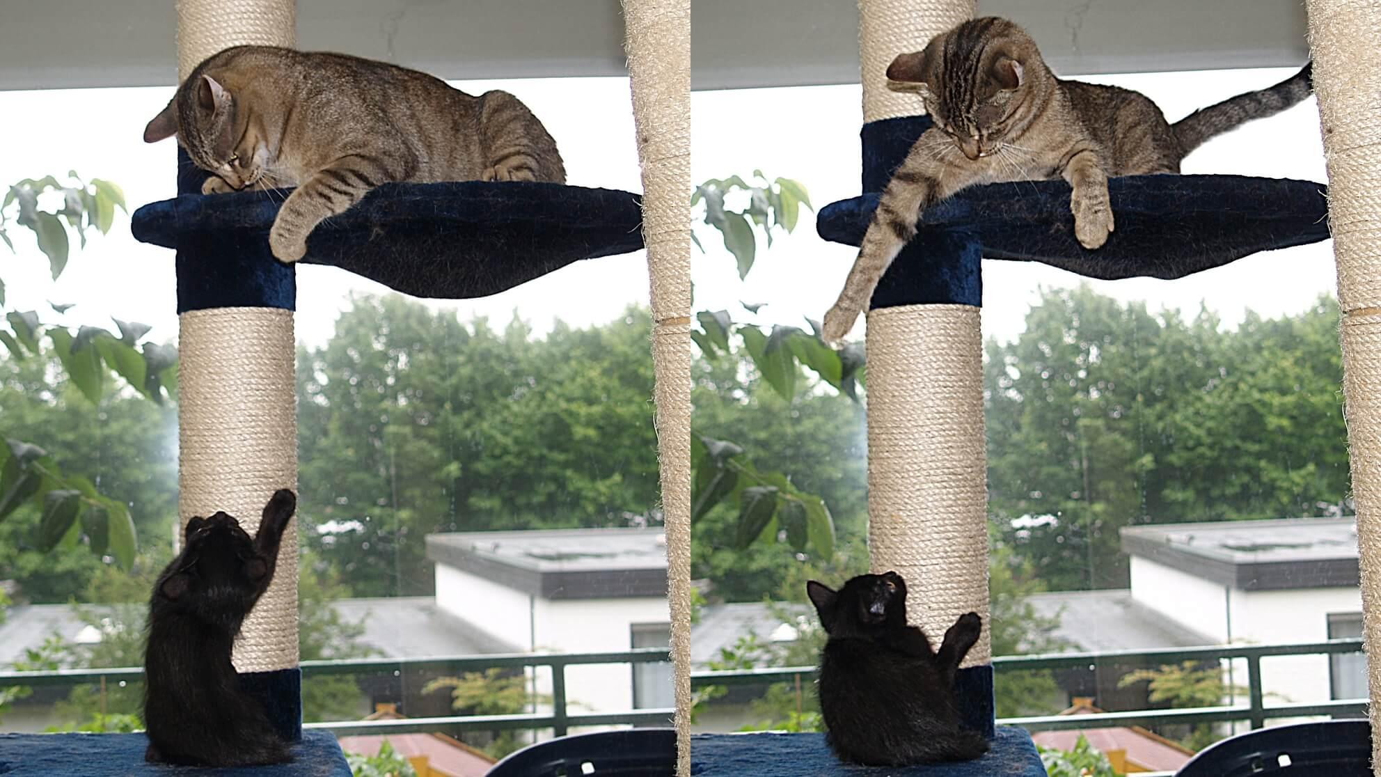 Kontrollgruppe Zoe ist 2008 ein Kitten, Patientenkatze Dgani ein Jahr alt